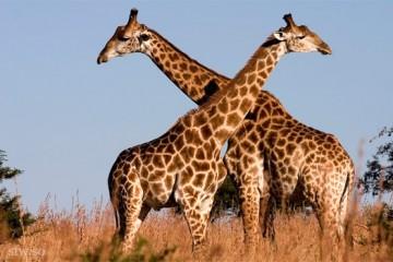 Жирафы могут исчезнуть до конца века