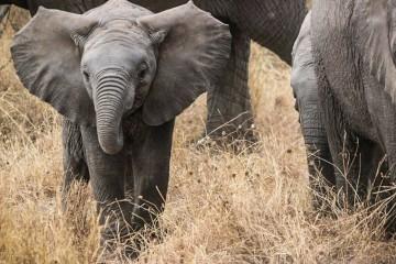 Спасаясь от истребления, слоны «перезагрузили» ДНК