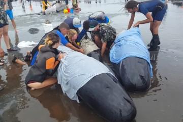Выбрасывающиеся на берег дельфины-самоубийцы начали взрываться