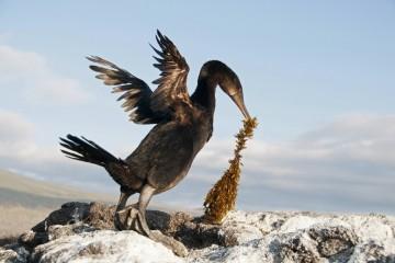Почему галапагосский баклан разучился летать