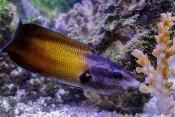 Ученые описали поцелуй рыбы, высасывающей ядовитые кораллы
