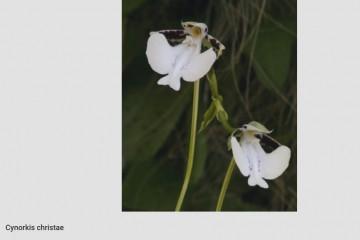 На Мадагаскаре открыли орхидею с сильным запахом шампанского