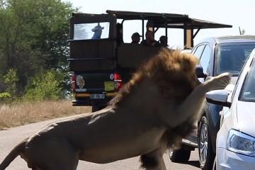 Лев атаковал туристов, чтобы впечатлить львицу