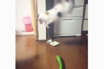 Почему кошки пугаются внезапных огурцов