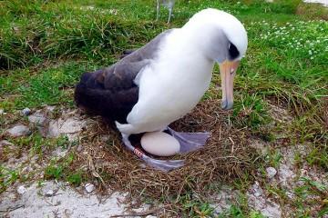 Самая старая птица выводит потомство в 67 лет
