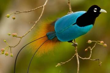 Райская птица оказалась черной дырой в перьях