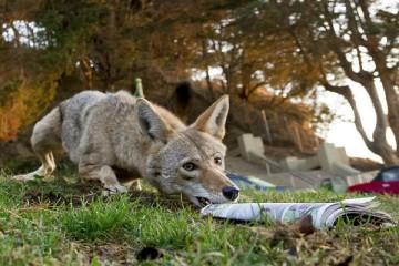 Зачем койоту потребовалось воровать газеты