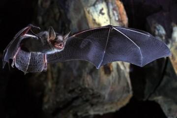 Долголетие летучей мыши заложено в генах