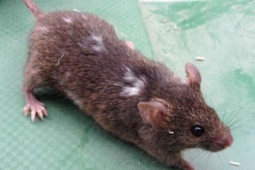 Домовые мыши сами себя «одомашнили»