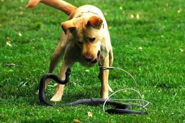 Почему собаки не боятся ядовитых змей?