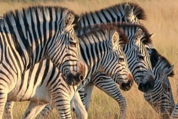 Полосы зебры не охлаждают ее тело