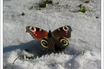 Глобальное потепление раньше времени разбудило сибирских медведей и бабочек