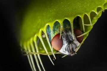 Как работают челюсти венериной мухоловки?