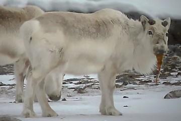 Глобальное потепление вынудило северных оленей на Шпицбергене есть водоросли