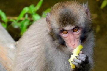 Средиземноморская диета полезна даже обезьянам