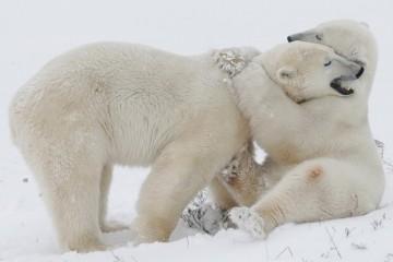Белый медведь помог ученым сделать теплоизолятор мечты