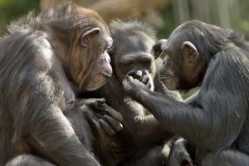 Совместный просмотр видео сближает даже обезьян