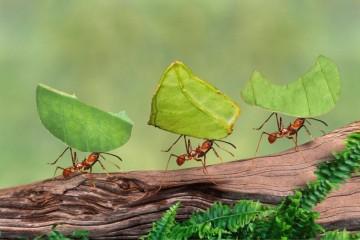 Австралийские муравьи вовсю готовятся к Армагеддону