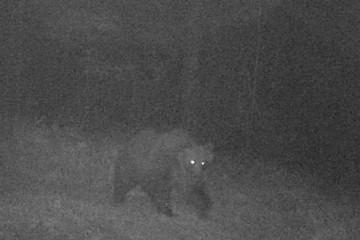 В Италии разыскивают свободолюбивого медведя с суперспособностями