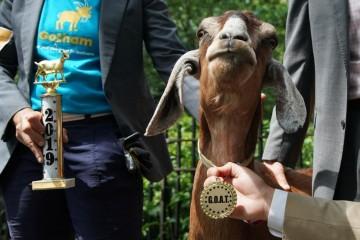 Нью-йоркскую козу наградили за заботу об экологии