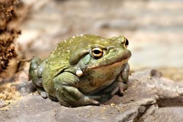 Найдена польза от вдыхания порошка из кожи жабы