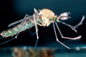 России грозит эпидемия смертельных лихорадок из-за комаров